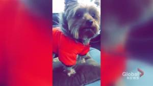 Toronto police looking for dog allegedly stolen during break-and-enter in Etobicoke