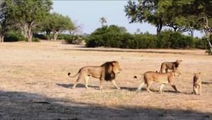 Controversy around the killing of Cecil the Lion