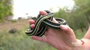 Garter snake population 'healthy' around Saskatoon