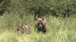 NDP government bans grizzly bear hunt