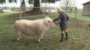 Meet Theodore the 800 pound pig