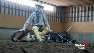 Unique partnership flourishes between southern Alberta cowboy and his steer