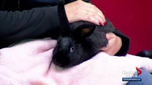 Calgary Humane Society Pet of the Week: Sir Timothy Hoppington