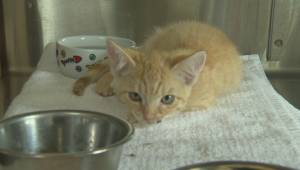 An animal cruelty investigation prompts the owner to surrender 65 cats the Penticton SPCA