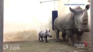 Toronto Zoo welcomes white rhinoceros calf