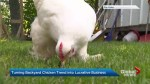 Controversial back yard hens could pad Canadian's nest eggs