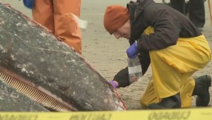 Danger for grey whales rescued in Boundary Bay may not be over