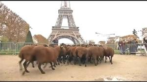 Farmers bring sheep to Eiffel Tower in protest