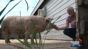 Alberta breeder saying goodbye to last Lacombe pig