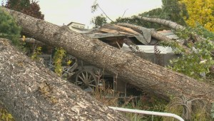 Kelowna homeowner facing enormous clean-up after two pine trees crashed down onto his home