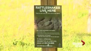Experts offer tips about rattlesnake safety in southern Alberta
