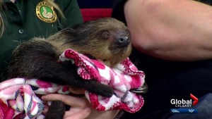 Chloe the sloth and Armando the armadillo prepare for Calgary audiences as part of Little Ray's Wildlife Festival