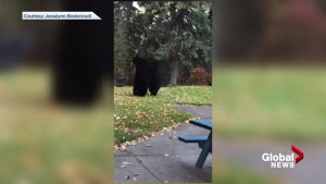 Backyard bear party in Prince George