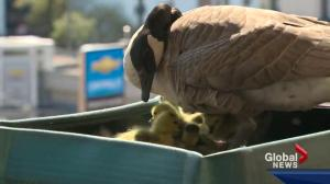 Lucy the Goose's goslings have hatched
