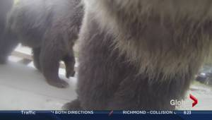 Up-close-and-personal with a grizzly bear