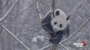 Smithsonian National Zoo pandas are clearly enjoying the winter weather