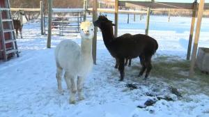 313 Farms: Get up close and personal with the alpacas