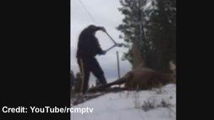 RCMP member rescues elk stuck in fence