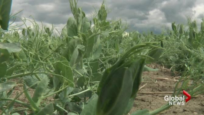 Southern Alberta crops in dire need of rain