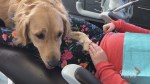 Golden retriever helping those anxious of the dentist