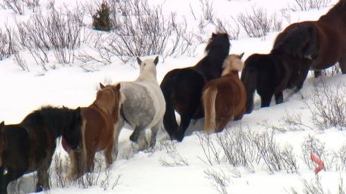 Possible end to birth control program for wild horses could trigger cull in Alberta