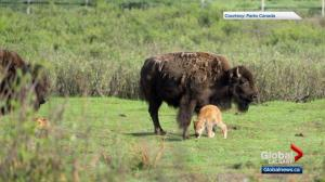 'Made in Banff': National park celebrates birth of first Banff-bred bison in decades