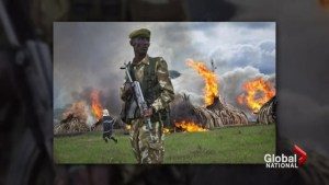 Burning of 6000 tusks meant to send message to poachers