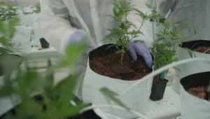 Nanaimo-based marijuana company's stock surges, stuns North American markets