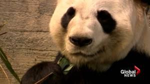 Baby panda cubs could be born at Calgary Zoo as breeding season begins