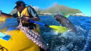 Incredible moment a seal smacks a kayaker in the face with an octopus