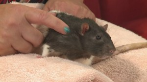 Adopt a Pet: Kokanee the rat