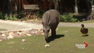 Oracle tapir predicts Sweden to win first World Cup match against South Korea