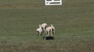 There's more to Kingston's sheep dog trials than sheep and dogs.
