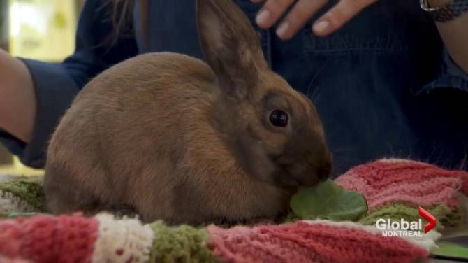 Rescue groups in ontario brace for influx of unwanted easter watch above the montreal spca is urging families to think long and hard before buying pets for their children this easter globals navneet pall reports negle Gallery