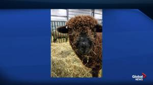 Showcasing all things wooly at the Manitoba Fibre Festival