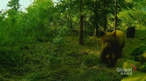 Rehab centre concerned about Alberta black bear cubs as release date looms