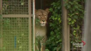 Calgary Zoo introduces new lionesses