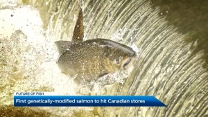 First genetically-modified salmon to hit Canadian stores