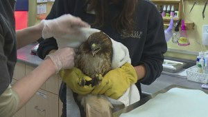 A rare, behind-the-scenes look at the B.C. SPCA's only wildlife rehabilitation centre in the province