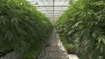 A tour of the largest government-approved pot greenhouse in Canada