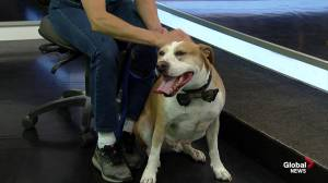 Edmonton Humane Society:  Xerxes the dog still looking for a home