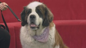 Adopt a Pet: Delilah the St. Bernard