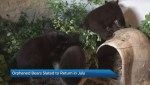 Orphaned bear cubs heading back to Banff National Park in July