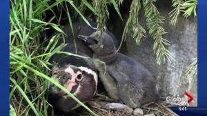 7 penguins die at Calgary Zoo
