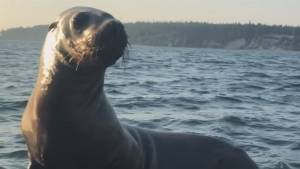 Young sea lion climbs aboard and goes for ride on B.C. fishing boat