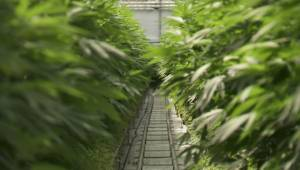 BC Hydro studying effects of legalized pot on power supply