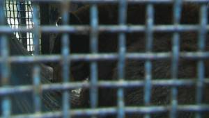 Bear that attacked woman won't be euthanized