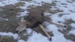 Investigation underway after 2 dogs kill deer in Lethbridge