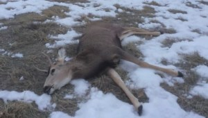 Investigation underway after 2 dogs kill deer in Lethbridge