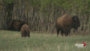 Edmontonians flock to open house as Elk Island asks what to do with extra wildlife